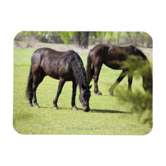 horses grazing on a horse farm rectangular photo magnet