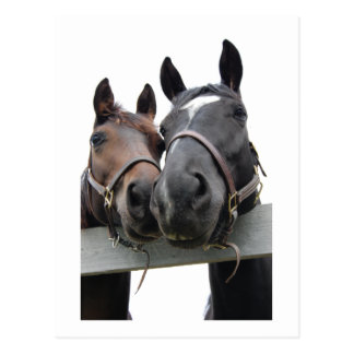 Horses in Love Post Card
