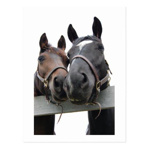 Horses in Love Post Card