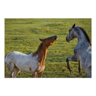 Horses in pasture near Polson, Montana Poster