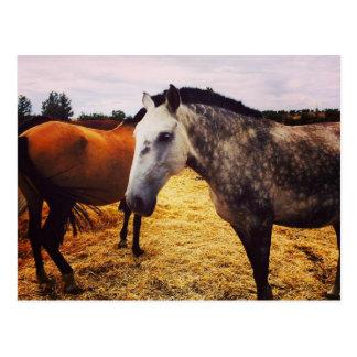Horses - postcard