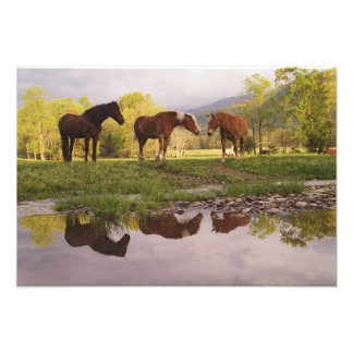 Horses reflected in small stream, Cades Cove, Photo Print