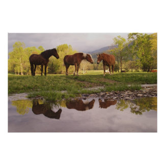 Horses reflected in small stream, Cades Cove, Poster