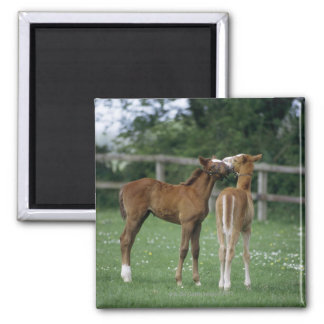 Horses - Thoroughbreds, Foals, Magnet