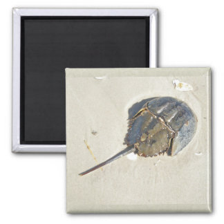 Horseshoe Crab Magnet