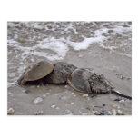 Horseshoe Crab Postcards