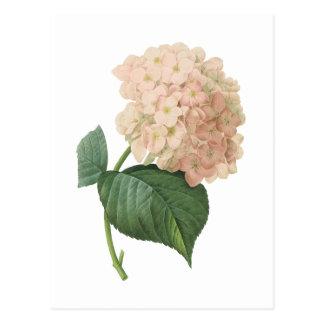 hortensia(Hydrangea sp.) by Redouté Postcard