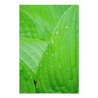 Hosta Leaves and Droplets Photography Print Photo