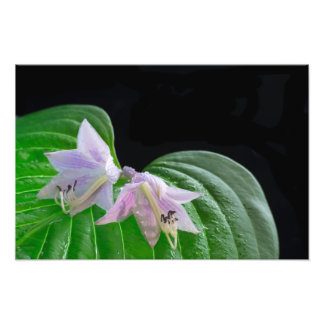 Hosta Plant Leaf and Flowers Photo Print