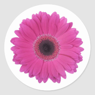 Hot Magenta Pink Gerbera Daisy Flower Classic Round Sticker