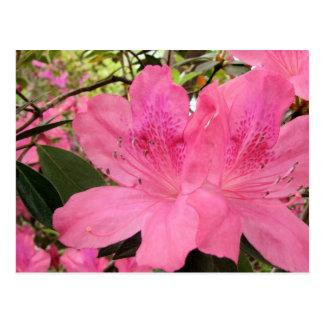 Hot Pink Azaleas Postcard