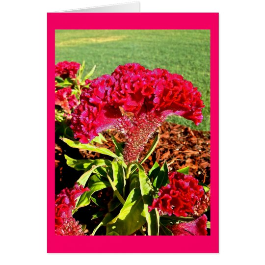Hot Pink Celosia Card