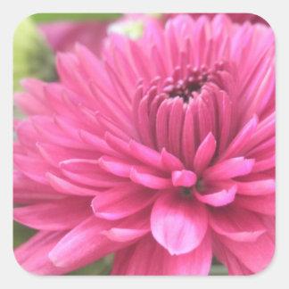 Hot Pink Chrysanthemum Flower Mums Flowers Photo Square Sticker