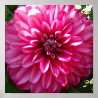 Hot Pink Dahlia Print