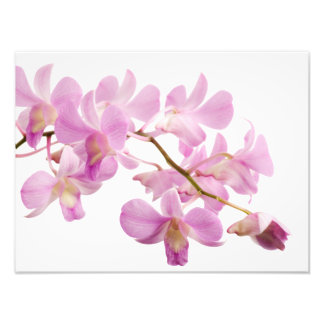 Hot Pink Dendrobium Orchid Flower Orchids Template Photographic Print