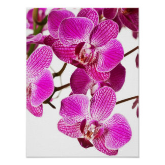 Hot Pink Dendrobium Orchid - Orchids Background Poster