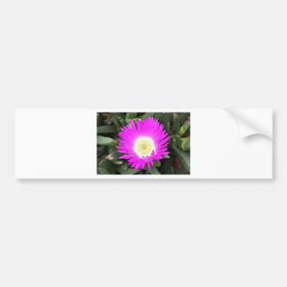 Hot pink Pigface flower in bloom Bumper Sticker