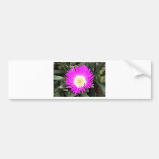 Hot pink Pigface flower in bloom Bumper Stickers