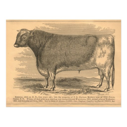Hotspur, First Prize Bull at Utica, 1863 Post Card