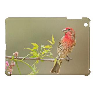 House Finch (Carpodacus Mexicanus) Male Perched iPad Mini Cases
