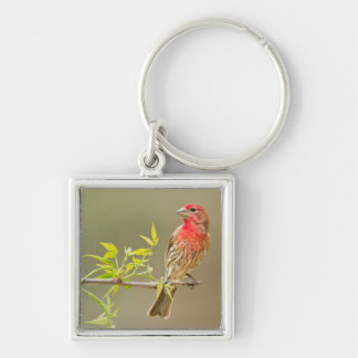 House Finch (Carpodacus Mexicanus) Male Perched Silver-Colored Square Key Ring