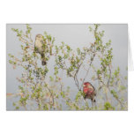 House Finch Couple Cards