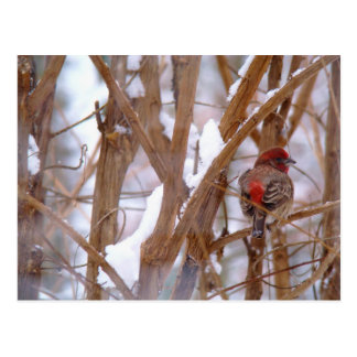 House Finch in Winter Scene Post Cards