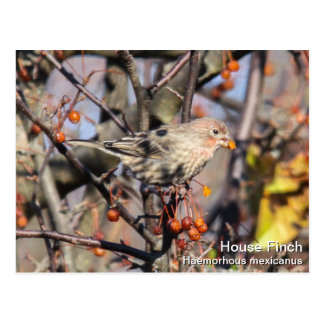 House Finch Postcards