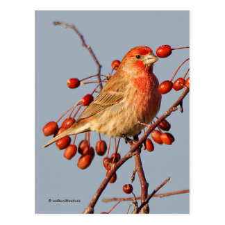 House Finch with Hawthorn Berries Postcard