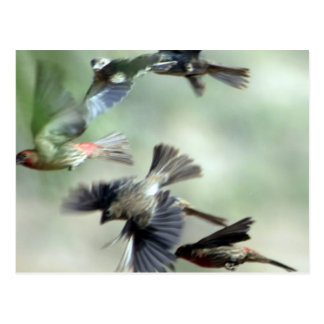 House Finches in flight Post Cards