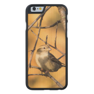 House Sparrow In Defiance, Ohio, USA Carved Maple iPhone 6 Case