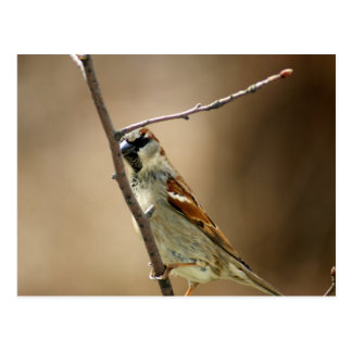 House Sparrow Perched on a Branch Postcard