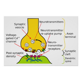 How Nerve Signals Are Sent With Synapses Diagram Poster