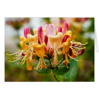 Howgillhounds cards Honeysuckle flower