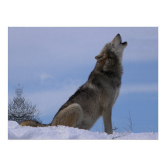Howling Alaskan Timber Wolf Posters