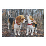 Howling Beagle & Beagle Buddy in Woods Poster
