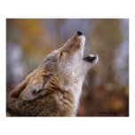 Howling Coyote Posters