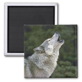 Howling grey wolf beautiful photo portrait, gift square magnet
