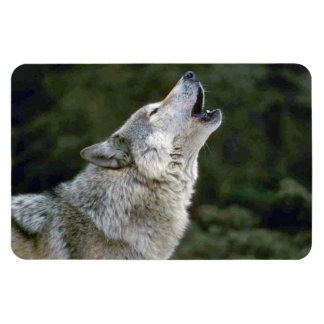 Howling grey wolf beautiful photo portrait, gift magnet