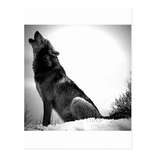 Howling Wolf in Snow Post Card
