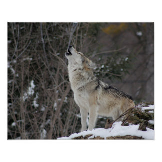 Howling Wolf In Winter Poster