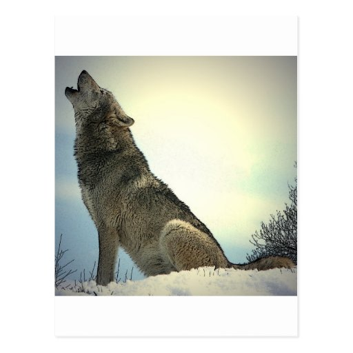 Howling Wolf Post Card