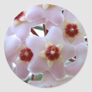 hoya carnosa flower classic round sticker