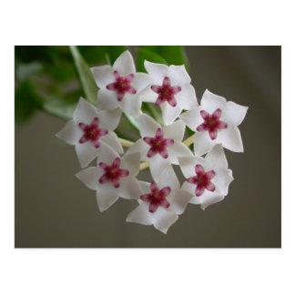 Hoya lanceolata ssp. bella post card