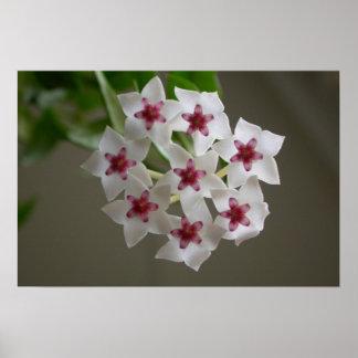 Hoya lanceolata ssp. bella poster