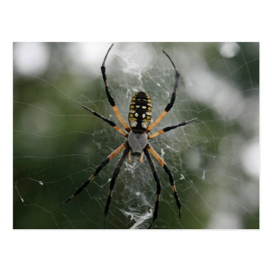 Huge Spider / Yellow & Black Argiope Postcard