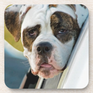 Huge Spotted Dog Looking Out Car Window Beverage Coaster