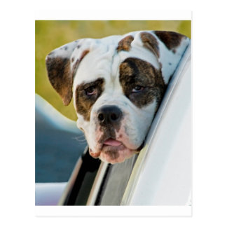 Huge Spotted Dog Looking Out Car Window Postcard