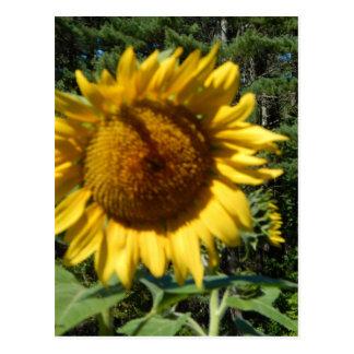 Huge Sunflower Postcard
