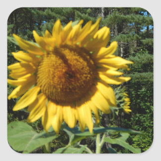Huge Sunflower Square Sticker